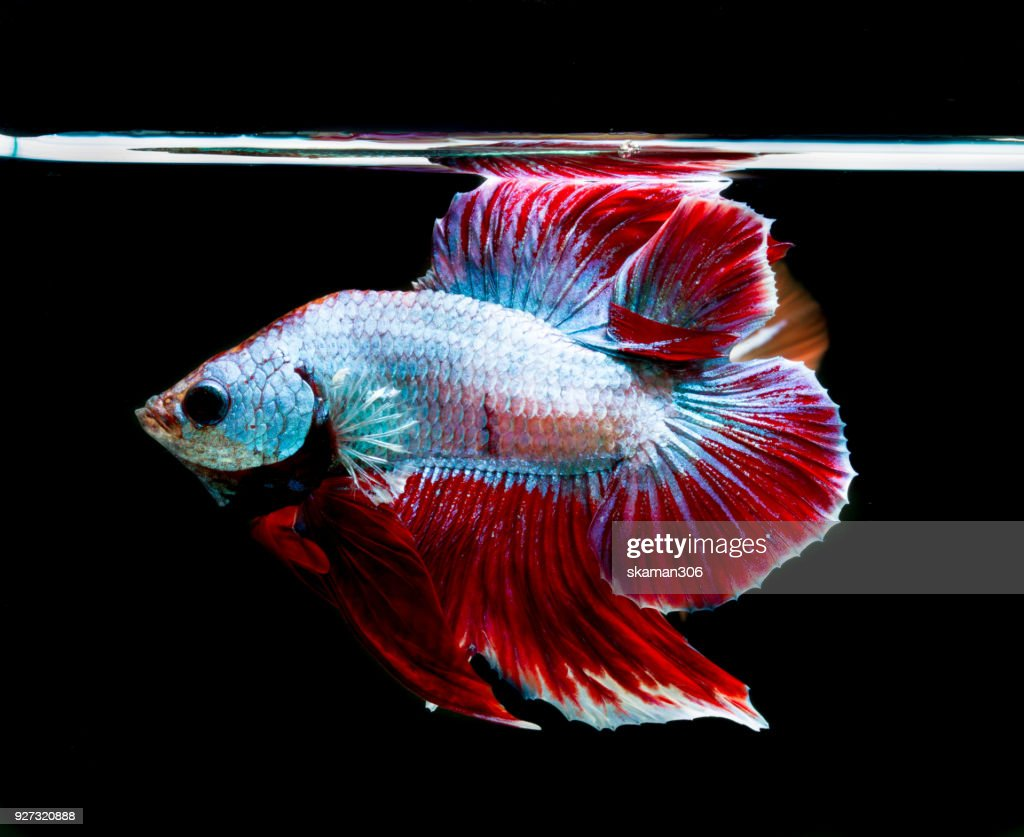 Couple Betta Fish Or Siamese Fighting Fish And Contrast Color Stock ...