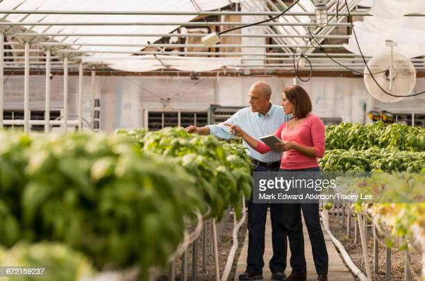 Couple checking green basil plants in greenhouse