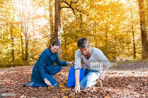 couple collecting sweet chestnuts in the autumnal forest - kastanie laubbaum stock-fotos und bilder