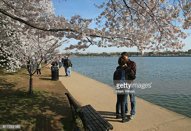A couple embraces near the blooming Cherry Blossoms at the Tidal Basin March 24 2016 in Washington DC The National Park Service has predicted that...