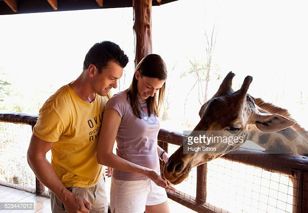 couple feeding giraffe - hugh sitton stock pictures, royalty-free photos & images