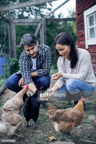 Couple feeding hens at poultry farm