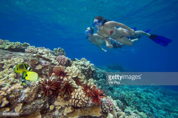 A couple free diving with butterflyfish and slate pencil sea urchins Hawaii