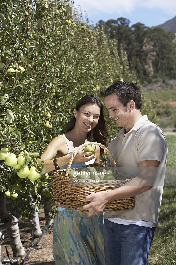 Couple Harvesting Pears : Stock Photo