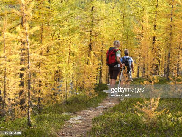 couple hike on path through larch trees in the autumn - larch tree stock pictures, royalty-free photos & images