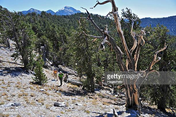 couple hiking, mount charleston wilderness trail, nevada, usa - mt charleston stock photos and pictures