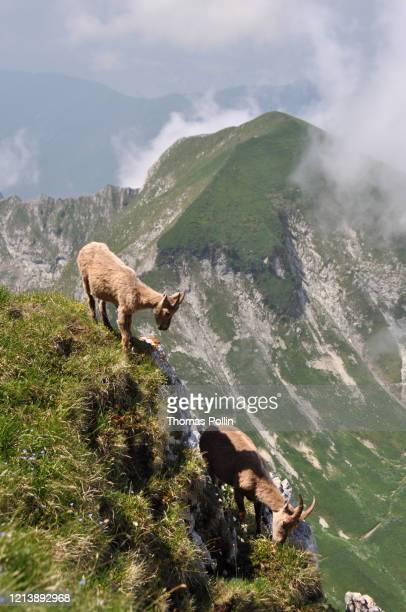 couple of alpine ibex - auvergne rhône alpes stock pictures, royalty-free photos & images