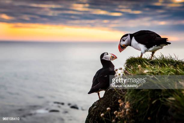 Atlantic puffins at sunset