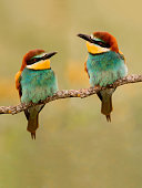 couple beeeaters branch looking at each