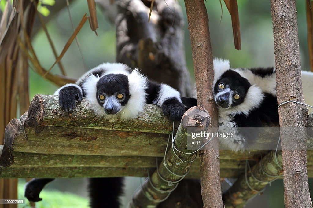 A couple of black-and-white ruffed lemur (Varecia variegata) are pictured during the presentation of the new inhabitants of the zoo in Cali, department of Valle del Cauca, Colombia, on May 20, 2010. The black-and-white ruffed lemur is the only species within the monotypic genus Lemur, and like other lemurs, is found only on the island of Madagascar. Only three zoos in Latin American have lemurs. AFP PHOTO/Luis ROBAYO