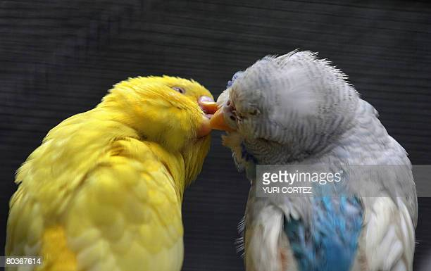 A couple of Budgerigars are seen inside their cage at the Emperor Valley Zoo and Botanical Garden of Port of Spain in Trinidad and Tobago on March 19...