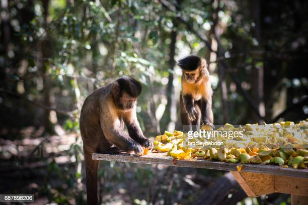 couple of capuchin monkeys are eating fruit together - capuchin monkey stock pictures, royalty-free photos & images