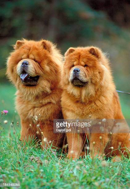 couple of chow chow dogs sitting on a meadow - chow dog stock pictures, royalty-free photos & images