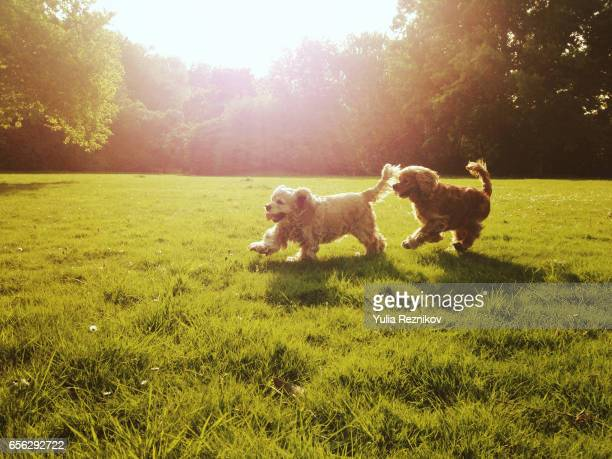 couple of cocker spaniel dogs playing outdoor - cocker spaniel stock photos and pictures