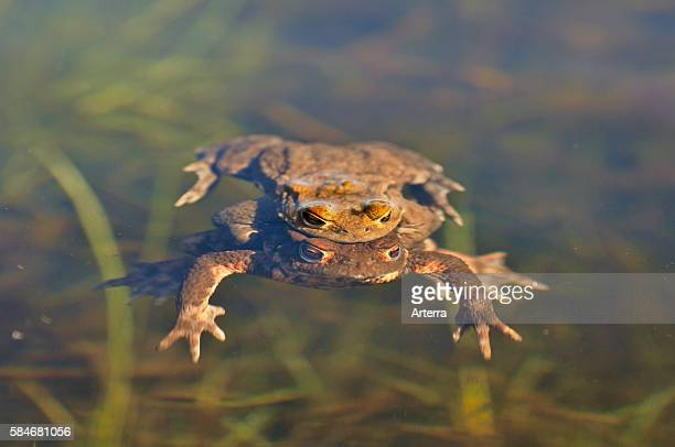 Couple of Common toads / European toads mating in pond Belgium