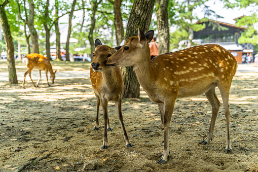 A couple of deer at Nara Park, Japan. Nara Park home over 1.000 sika deer freely roaming in the park. 1214816569