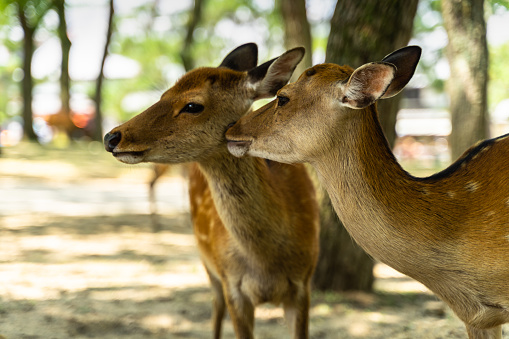 A couple of deer at Nara Park, Japan. Nara Park home over 1.000 sika deer freely roaming in the park. 1214819017