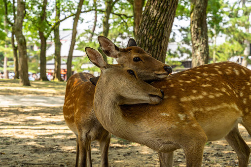 A couple of deer at Nara Park, Japan. Nara Park home over 1.000 sika deer freely roaming in the park. 1214821844