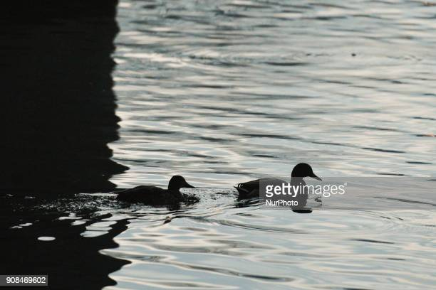 A couple of ducks seen on Vistula river On Sunday 21 January 2018 in Krakow Poland