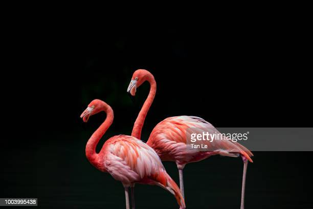 couple of flamigo isolated on the black background - flamant rose photos et images de collection