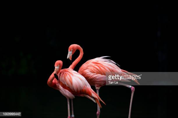 couple of flamigo isolated on the black background - greater flamingo stock photos and pictures