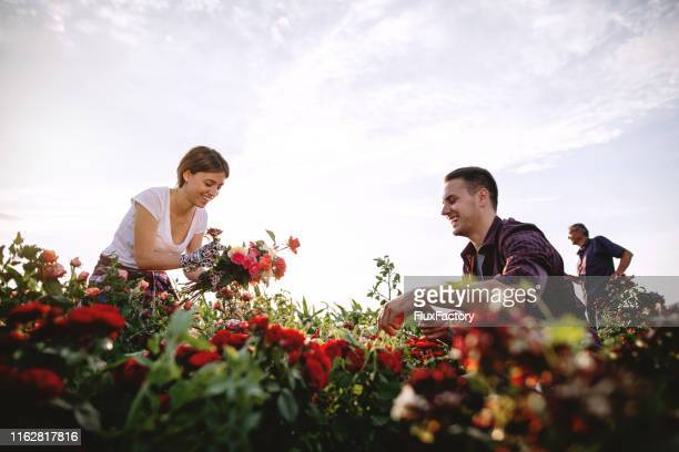 couple of florists working in a rose field - heterosexual couple stock pictures, royalty-free photos & images