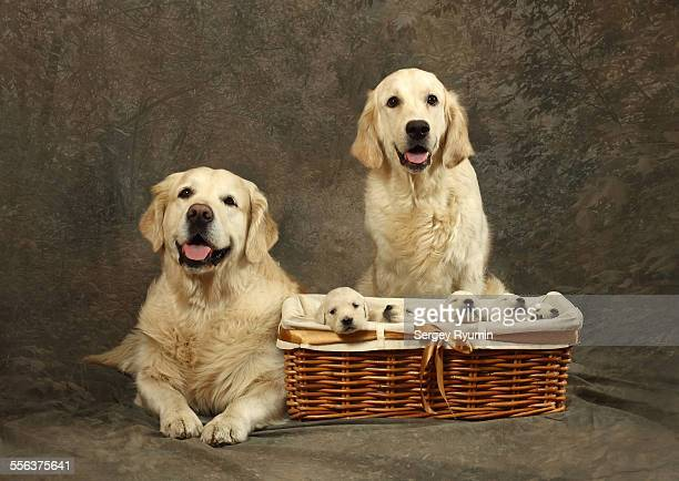 A couple of Golden Retrievers with the puppies.