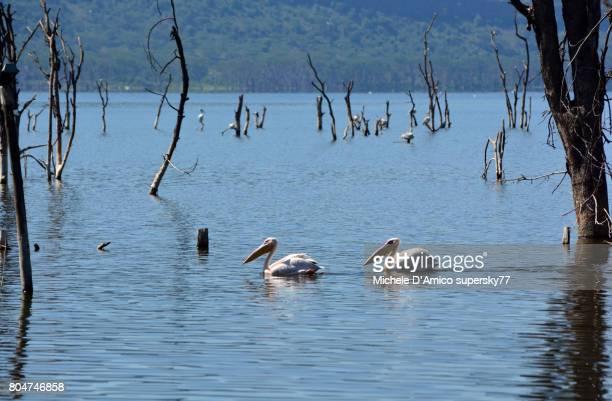 couple of great white pelicans swimming in lake nakuru - lake nakuru - fotografias e filmes do acervo