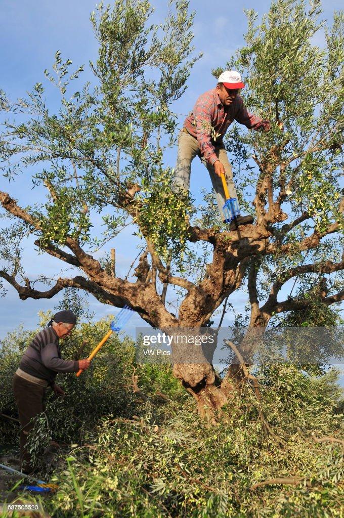 Što biste radili s osobom iznad, prikaži slikom - Page 22 Couple-of-greek-farmers-harvest-olives-from-an-olive-tree-near-in-picture-id687505520?k=6&m=687505520&s=612x612&w=0&h=25x0yRcxFkHMurpDo2pl6xTdvFLUMcXn6ovPiacmURI=