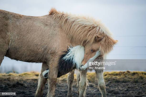 Couple of Icelandic horses nuzzling, they look like they are in love.