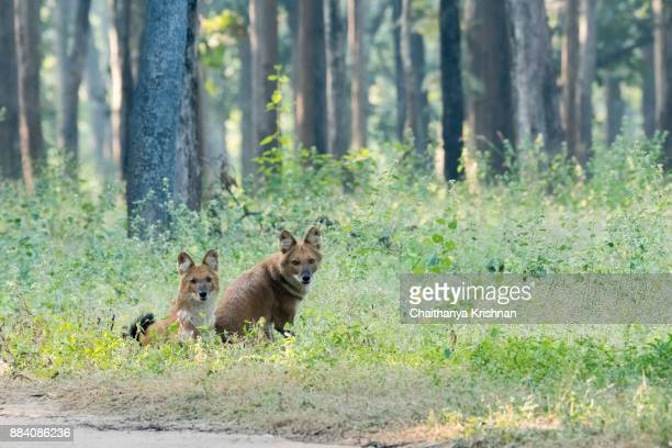 Couple of indian wild dog sitting on a grass ground inside pench national park during a wildlife safari