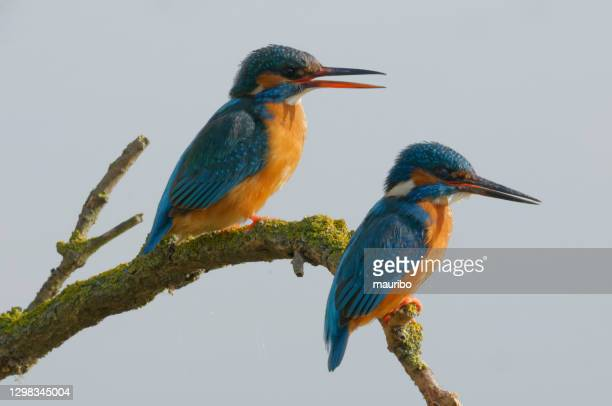 couple of kingfisher (alcedo atthis) - zoology stock pictures, royalty-free photos & images