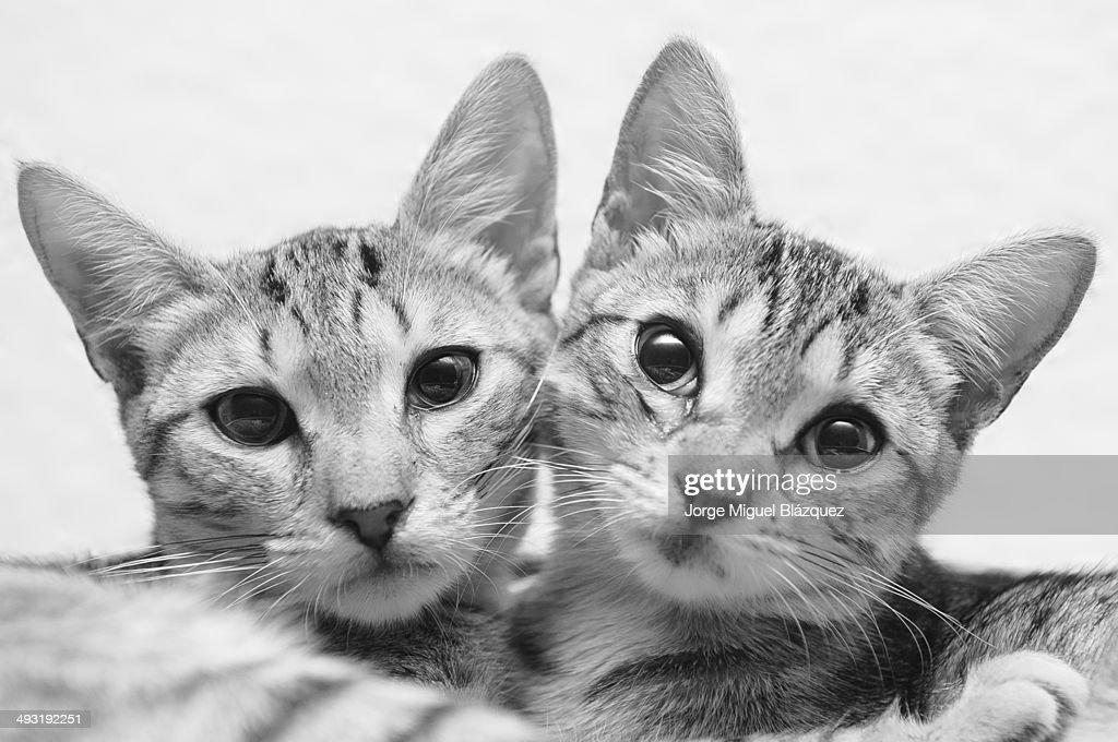 Couple of kittens : Foto de stock