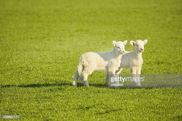 Couple of lambs on New Zealand meadow