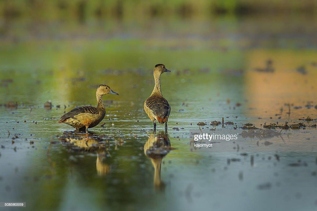 Couple of Lesser whistling duck : Bildbanksbilder