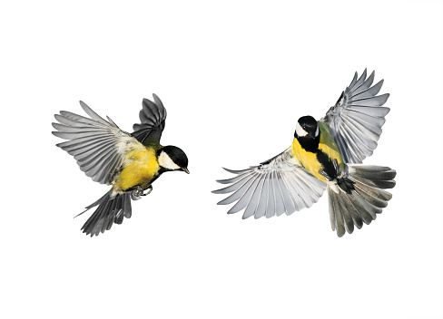 couple of little birds chickadees flying toward spread its wings and feathers on white isolated background 936215470