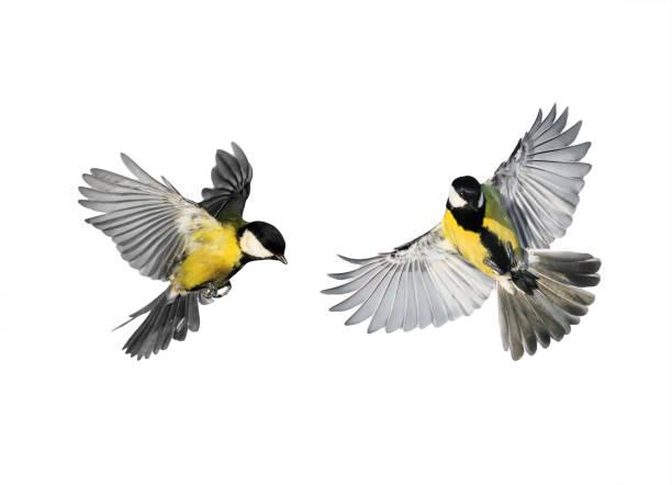 Couple Little Birds Chickadees Flying - Fine Art prints
