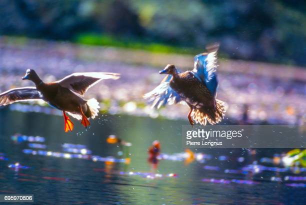 A Couple of Mallard Ducks flying off a pond together, Stanley Park, Vancouver, British Columbia, Canada
