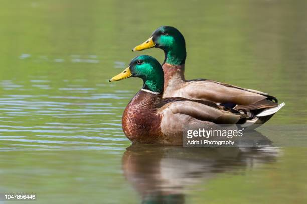 16 262 Mallard Duck Photos And Premium High Res Pictures Getty Images