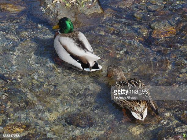 Couple of Mallard Ducks (Male and Female)