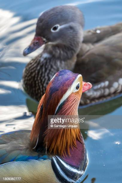 couple of mandarin ducks swimming on a lake - capital region stock pictures, royalty-free photos & images