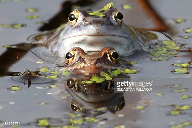 A couple of moor frogs sit in a pond during spawning season on April 1 2014 in Leipzig eastern Germany Due to drainage of moors and wetlands the...