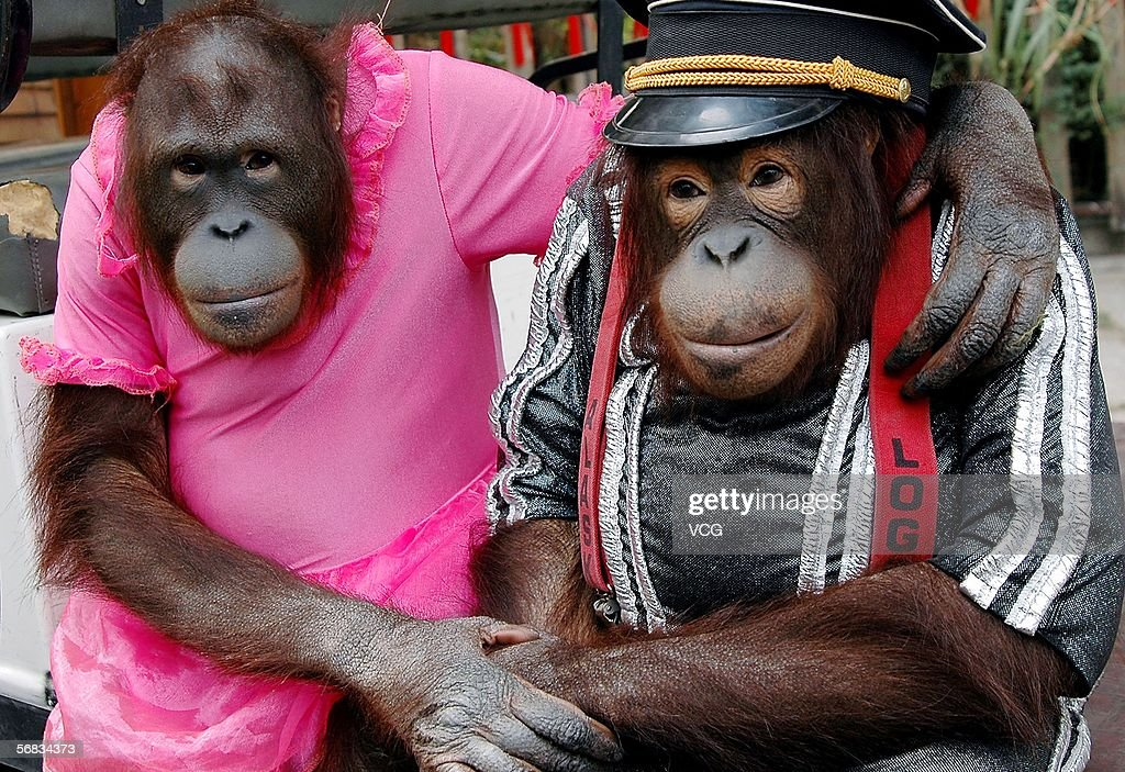 A couple of Orangutans wear clothes at Guangzhou zoo on February 12, 2006, in Guangzhou, China.