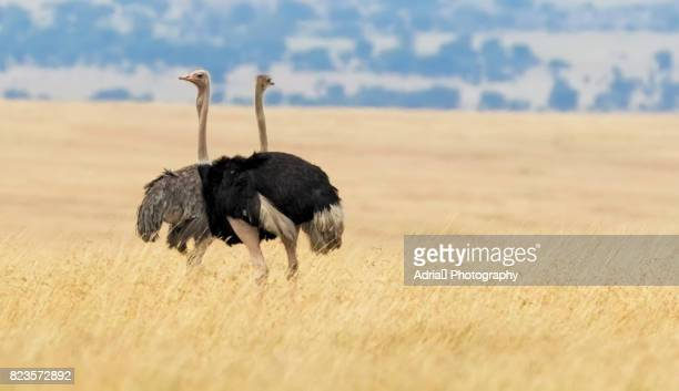 couple of ostriches - flightless bird stock photos and pictures