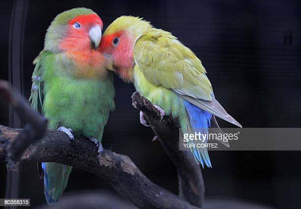 A couple of PeachedFaced Lovebird natives from southwestern Africa are seen inside their cage at the Emperor Valley Zoo and Botanical Garden of Port...