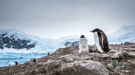 Couple of penguins in the nest with a glacier behind - gettyimageskorea