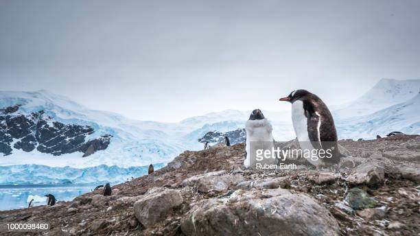 Couple of penguins in the nest with a glacier behind
