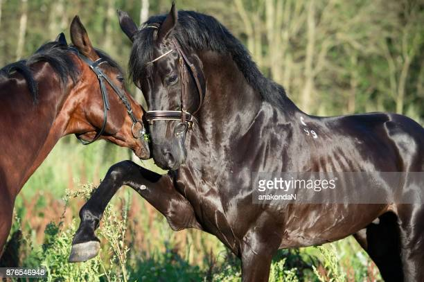 couple of playing breed stallions. close up