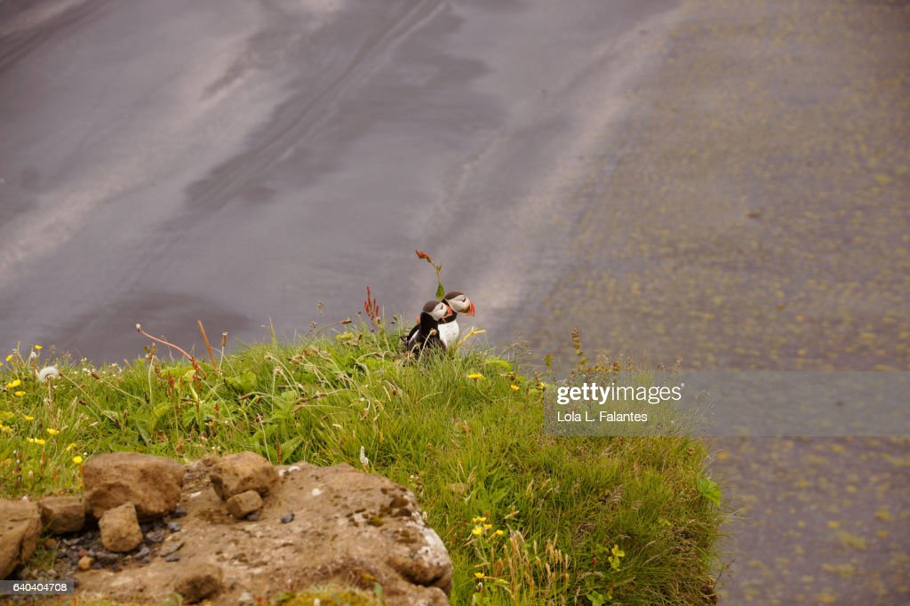 Couple of puffins : Foto de stock