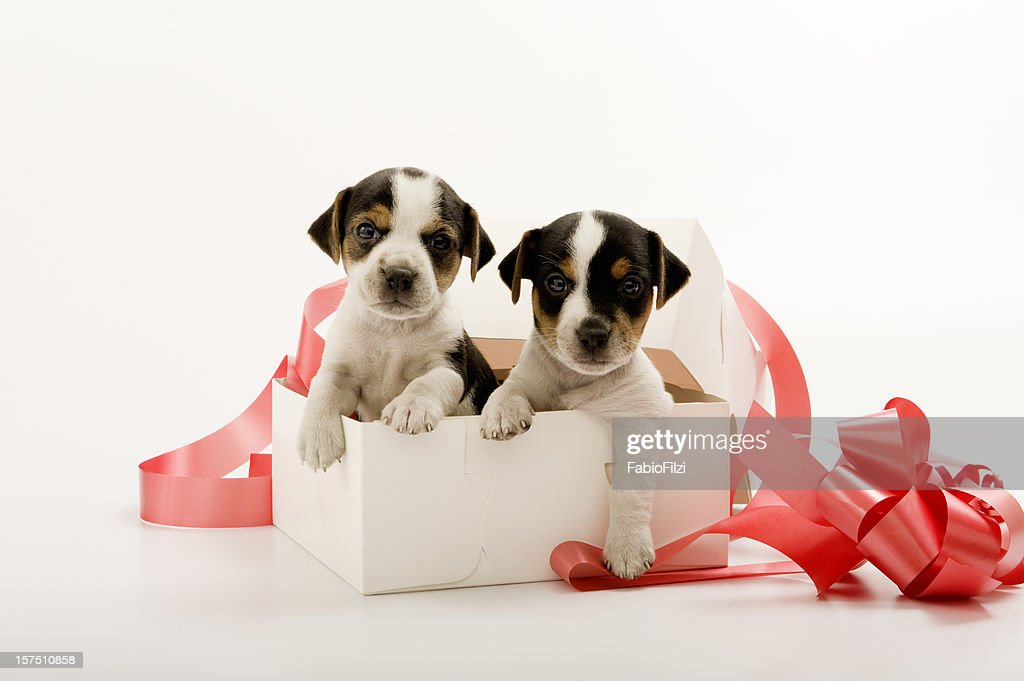 couple of puppies in gift box : Stock Photo